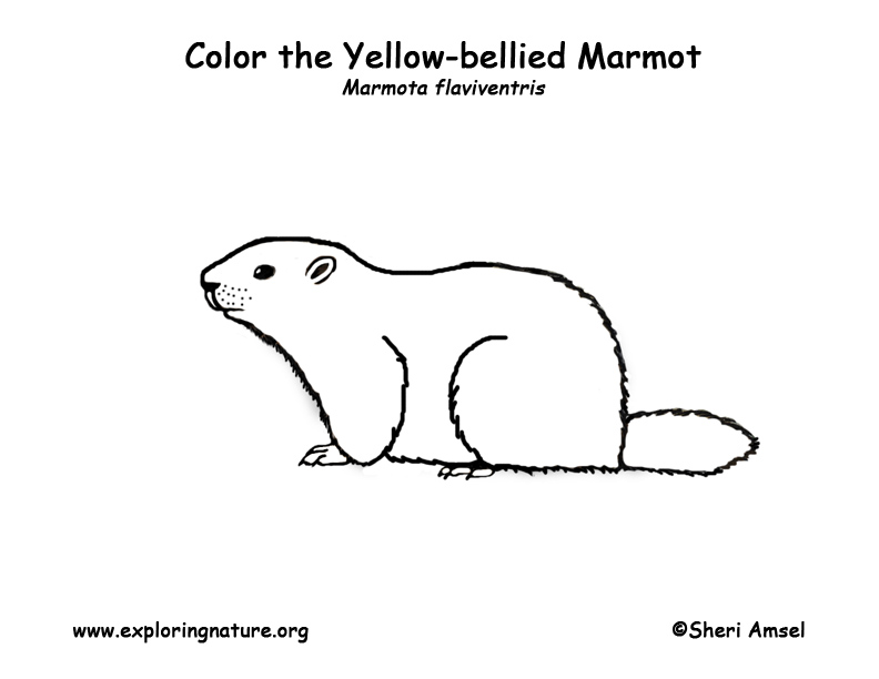 yellow bellied marmot coloring pages - photo#4