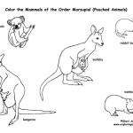 Marsupials (Pouched Mammals)