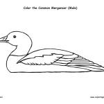 Merganser (Common)