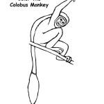Monkey (Colobus)
