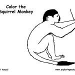 Monkey (Squirrel)