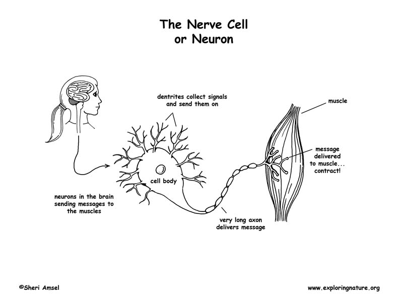 nerve cell  u2013 coloring nature