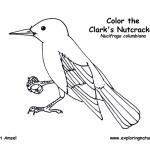 Clark's Nutcracker