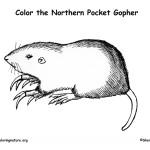 Pocket Gopher (Northern)