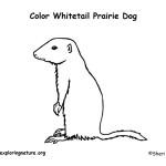 Prairie Dog (White-tailed)