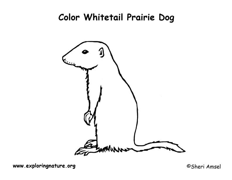 Prairie Dog White Tailed