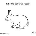 Rabbit (Cottontail)