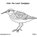 Sandpiper (Least)