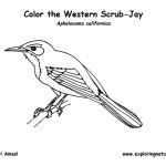 Jay (Western Scrub)