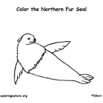 Seal (Northern Fur)