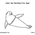 Seal (Northern Fur)