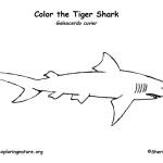 Shark (Tiger)