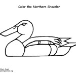 Duck – Shoveler (Northern)