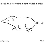 Shrew (Northern Short-tailed)