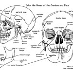 Skull – Bones of the Cranium and Face