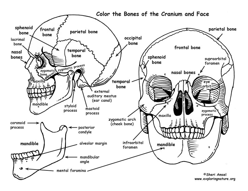 Human Skeleton Coloring Book – citybeauty.info