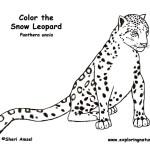 Leopard (Snow)