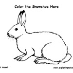 Hare (Snowshoe)