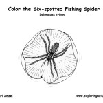 Spider (Six-Spotted Fishing)