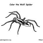 Spider (Wolf)