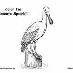 Spoonbill (Roseate)