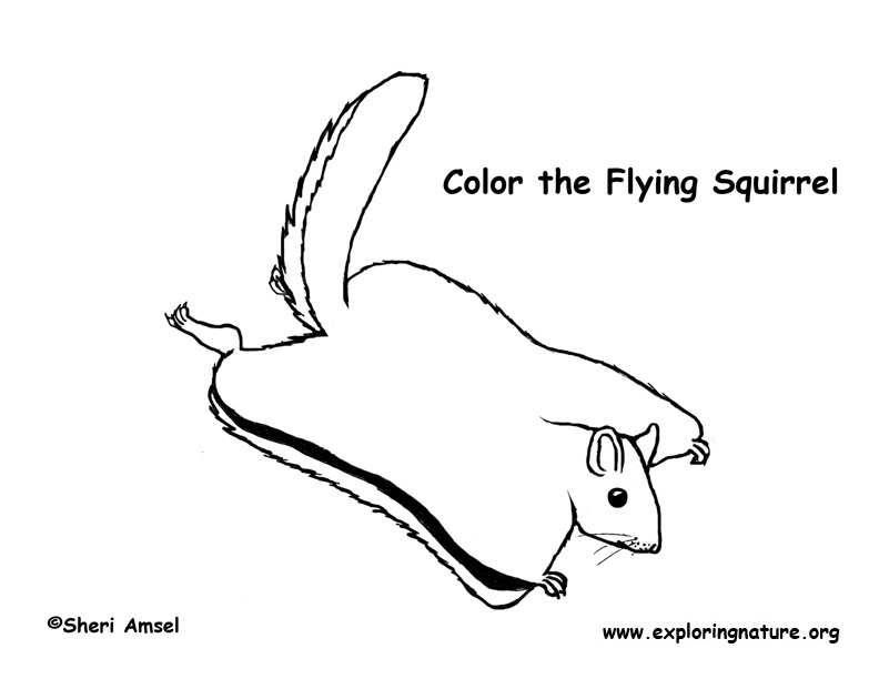 Squirrel Northern Flying Coloring