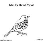 Thrush (Hermit)