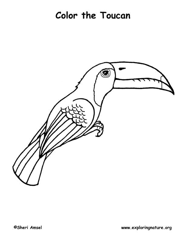 Toucan Keel Billed Coloring Nature