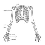 Upper Limb (of the Skeleton)
