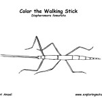 Walking Stick (Stick Bug)