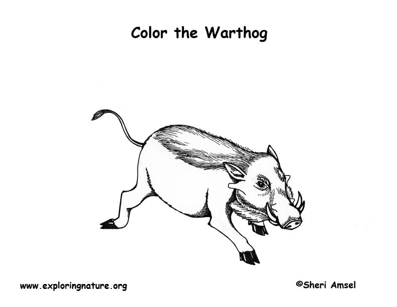 Warthog Coloring Nature