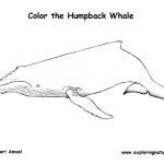 Whale (Humpback)