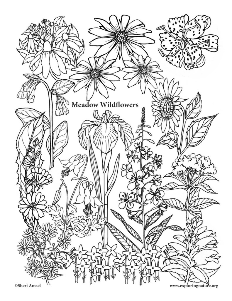 coloring pages for kids wild flowers | Meadow Wildflowers – Coloring Nature
