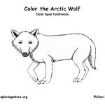 Wolf (Arctic)