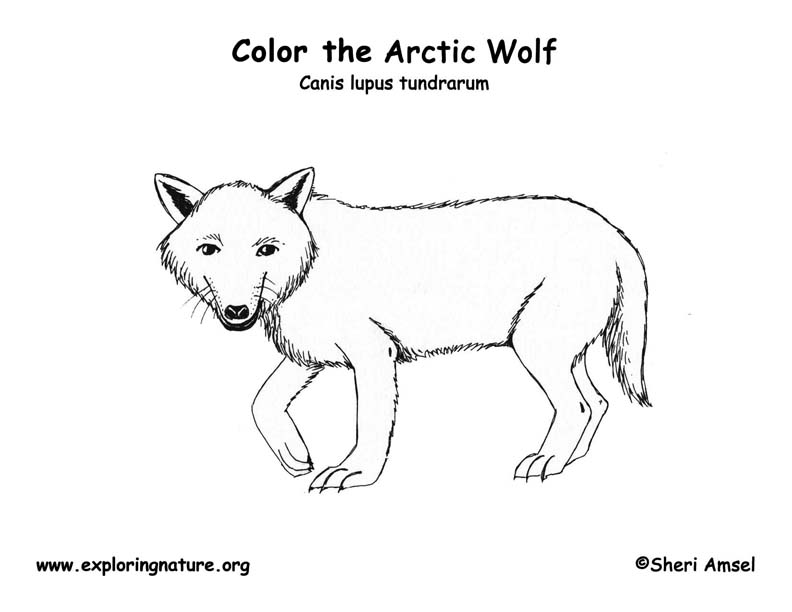 Wolf (Arctic) – Coloring Nature