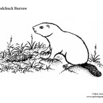 Woodchuck Burrow
