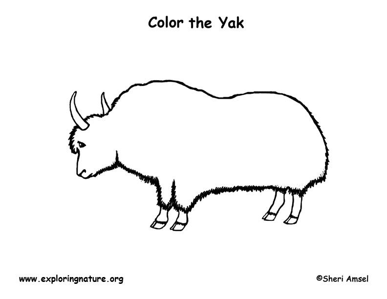 Yak – Coloring Nature