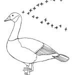Canada Goose Migrating