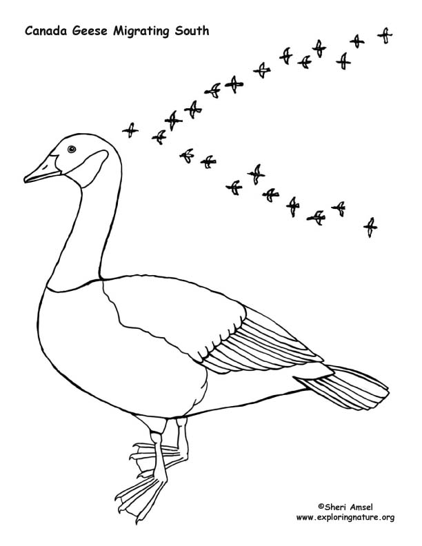 Bird migration coloring pages ~ Canada Goose Migrating – Coloring Nature