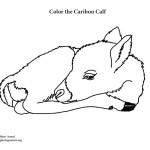 Caribou Newborn Calf