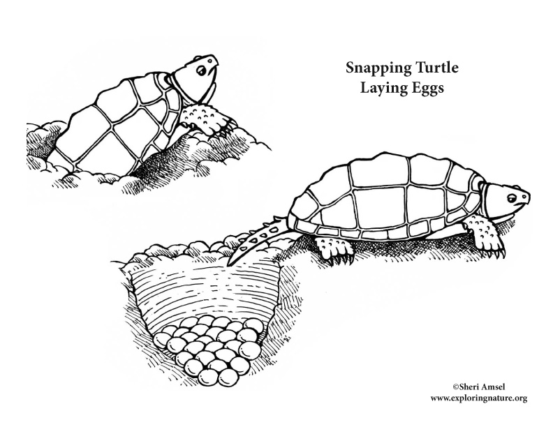 Coloring Pages Of Animals That Lay Eggs : Snapping turtle laying eggs coloring nature