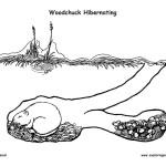 Woodchuck Hibernating in Den