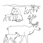 Caribou Herd and Calves