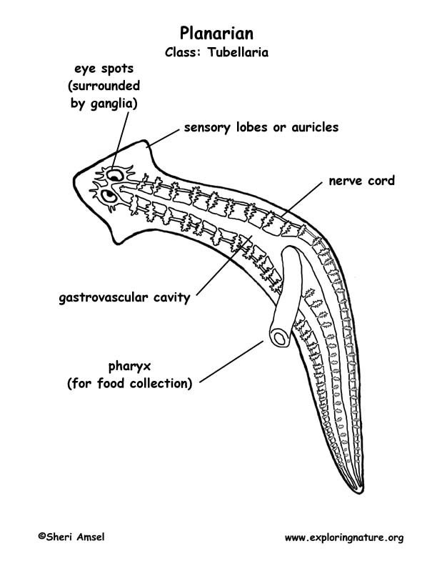 Planarian Labeled Coloring Nature