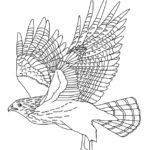 Hawk (Red-shouldered)