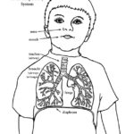 Respiratory System (Younger)