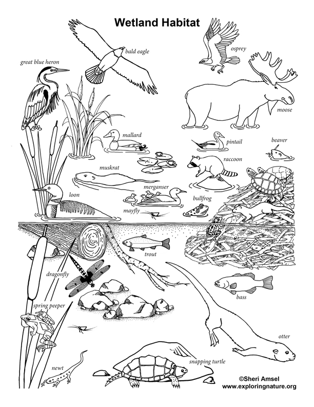 Coloring Pages Of Wetland Animals : Wetland habitat coloring nature