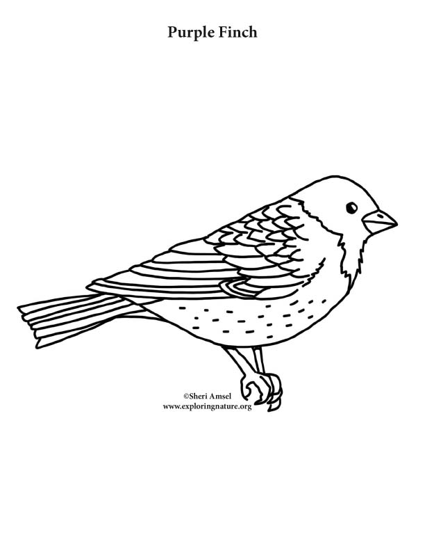 Purple finch coloring nature for Finch coloring page