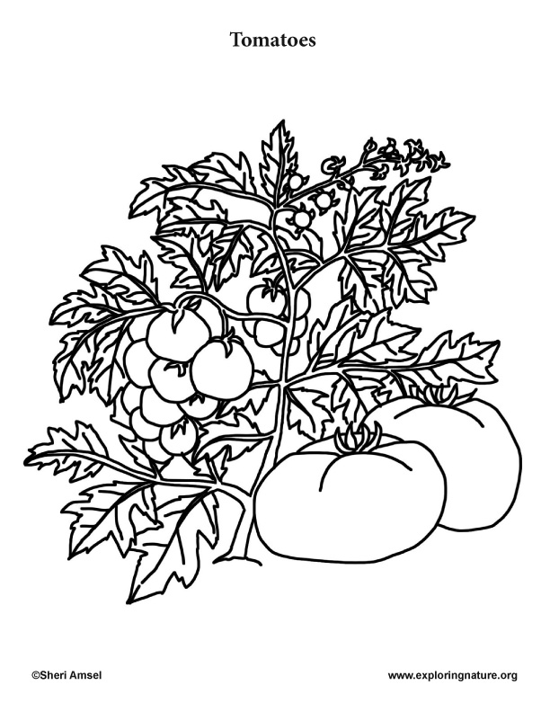 coloring pages of tomato plants - photo#8