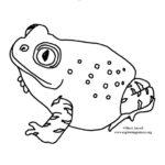 Toad (Spadefoot)